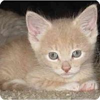 Adopt A Pet :: Cheeto - Davis, CA