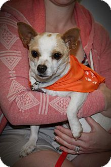 Chihuahua Mix Dog for adoption in Seattle, Washington - Mighty Mouse