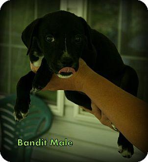 Boxer Mix Puppy for adoption in Danbury, Connecticut - Bandit