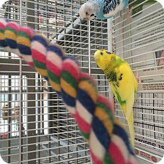 Parakeet - Other for adoption in Punta Gorda, Florida - Parakeet Pair