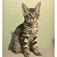 Adopt A Pet :: Chumley - Colorado Springs, CO