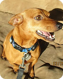 Dachshund/Jack Russell Terrier Mix Dog for adoption in Jacksonville, Florida - Milo