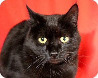 Domestic Shorthair Cat for adoption in Greensboro, North Carolina - Elvis