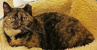 Domestic Shorthair Cat for adoption in Crossville, Tennessee - Autumn