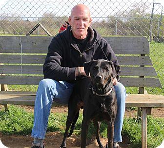 Labrador Retriever Mix Dog for adoption in Elyria, Ohio - Augie