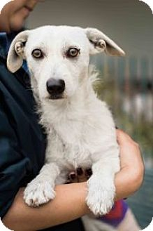 Terrier (Unknown Type, Small) Mix Dog for adoption in Los Angeles, California - CHALUPA