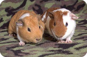 Guinea Pig for adoption in Highland, Indiana - Arbok