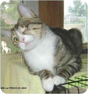 Domestic Shorthair Kitten for adoption in Yorba Linda, California - Max