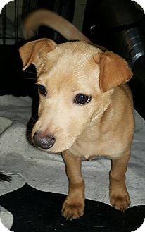 Labrador Retriever/Corgi Mix Puppy for adoption in Burlington, Vermont - Felix