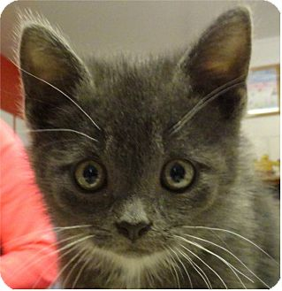 Domestic Mediumhair Kitten for adoption in Ozark, Alabama - Cruz