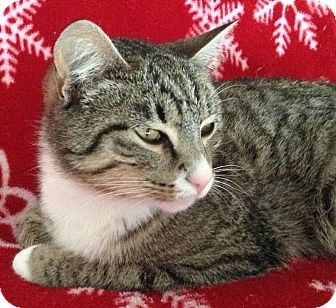 Domestic Shorthair Cat for adoption in Meridian, Idaho - Puck
