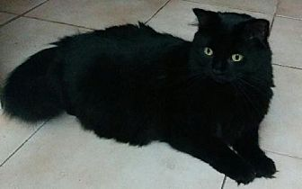 Domestic Mediumhair Cat for adoption in Montreal, Quebec - Big Mama