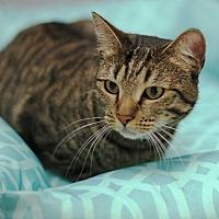 Domestic Shorthair Cat for adoption in San Dimas, California - Katrina