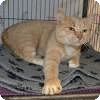 Domestic Shorthair Cat for adoption in Barrie, Ontario - Morris