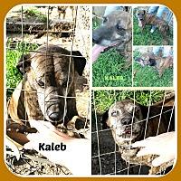 Adopt A Pet :: KALEB - Malvern, AR