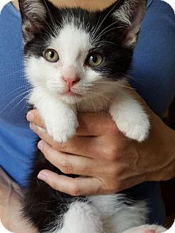 Domestic Shorthair Kitten for adoption in Fishkill, New York - Johnny/Romeo