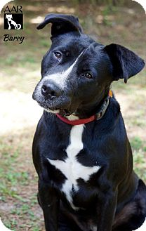 Labrador Retriever/Pit Bull Terrier Mix Dog for adoption in Tomball, Texas - Barry