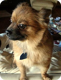 Pomeranian Mix Dog for adoption in Antioch, California - Timber
