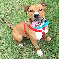 Pit Bull Terrier Mix Dog for adoption in Charlotte, North Carolina - Cecil