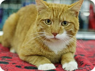 Domestic Shorthair Cat for adoption in Great Falls, Montana - Quincy