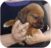 Dachshund/Beagle Mix Puppy for adoption in Foster, Rhode Island - Santiago