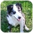 Photo 2 - Australian Shepherd Dog for adoption in Orlando, Florida - Shia
