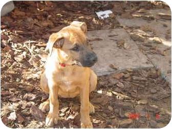 Boxer/German Shepherd Dog Mix Puppy for adoption in Tallahassee, Florida - Sassy
