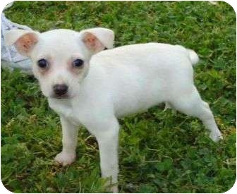 Chihuahua/Feist Mix Puppy for adoption in P, Maine - Isaiah