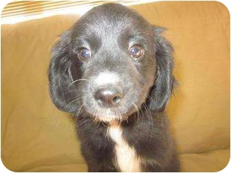 Setter (Unknown Type)/Hound (Unknown Type) Mix Puppy for adoption in Marion, Wisconsin - Cleveland