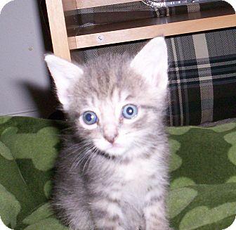Domestic Shorthair Kitten for adoption in Orlando, Florida - Olivia