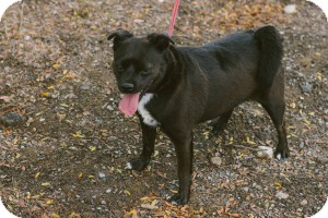 Pug/Chihuahua Mix Dog for adoption in Saint Clair Shores, Michigan - Piggy - foster needed