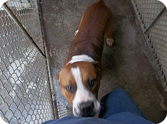 Beagle Mix Dog for adoption in Henderson, North Carolina - Doc