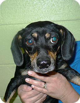 Dachshund Mix Dog for adoption in Eastpoint, Florida - kathleen