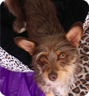 Silky Terrier/Terrier (Unknown Type, Small) Mix Dog for adoption in Mission Viejo, California - STELLA
