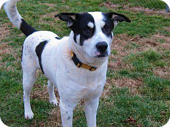 Hound (Unknown Type)/Akita Mix Dog for adoption in Acushnet, Massachusetts - Ben