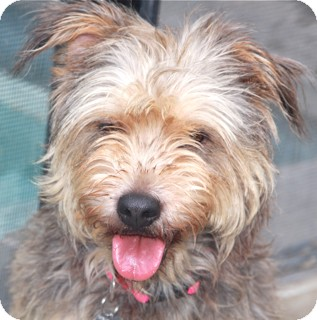 Terrier (Unknown Type, Medium) Mix Dog for adoption in Norwalk, Connecticut - Layla