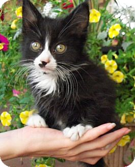 Domestic Shorthair Kitten for adoption in Chattanooga, Tennessee - Magpie