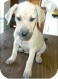 Labrador Retriever/Hound (Unknown Type) Mix Puppy for adoption in Lima, Pennsylvania - Neda