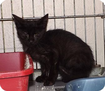 Domestic Shorthair Kitten for adoption in Henderson, North Carolina - Onyx