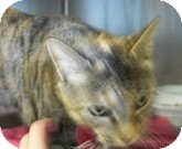Domestic Shorthair Cat for adoption in Silver City, New Mexico - Miss Kitty
