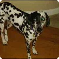 Adopt A Pet :: Maya - League City, TX