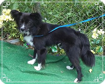 Papillon Mix Dog for adoption in Marietta, Georgia - COLLINS (R)