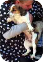 Jack Russell Terrier Dog for adoption in Warren, New Jersey - Jetta