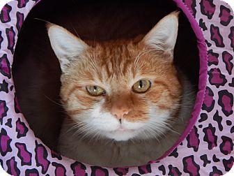 Domestic Shorthair Cat for adoption in Hot Springs, Arkansas - Fred