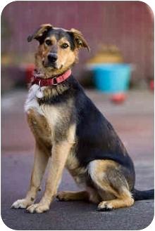 German Shepherd Dog Mix Dog for adoption in Portland, Oregon - Benny