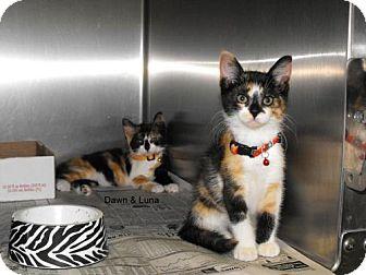 Domestic Mediumhair Kitten for adoption in Napoleon, Ohio - Luna