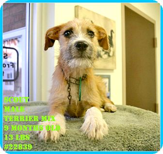Terrier (Unknown Type, Small) Mix Puppy for adoption in Beaumont, Texas - Scout