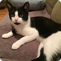 Adopt A Pet :: Figaro - Long Beach, NY