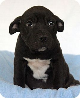 Staffordshire Bull Terrier Mix Puppy for adoption in Waldorf, Maryland - Dylan