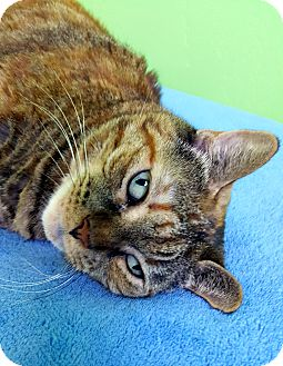 American Shorthair Cat for adoption in Ft Myers Beach, Florida - A sweet home for Lizzie!!